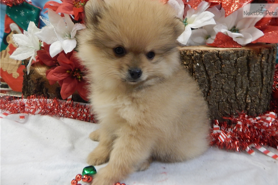 pomeranian puppy chicago pomeranian puppy for sale near chicago illinois 2622