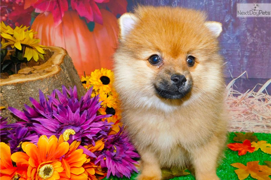 pomeranian puppy chicago pomeranian puppy for sale near chicago illinois 4826