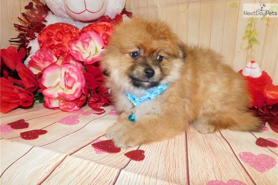 pomeranian puppy chicago pomeranian puppy for sale near chicago illinois 487