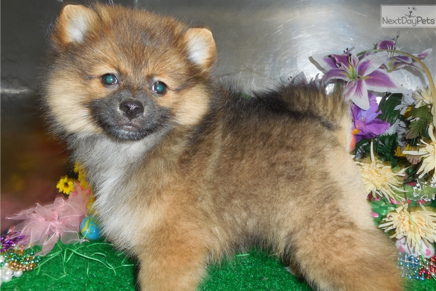 pomeranian puppy chicago pomeranian puppy for sale near chicago illinois 3439