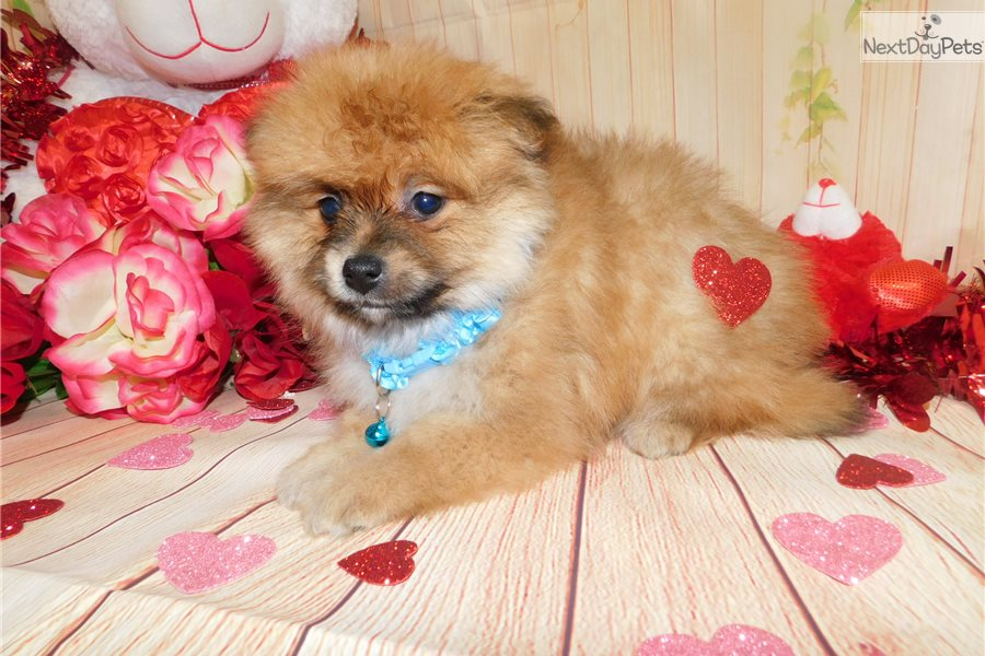 pomeranian puppy chicago pomeranian puppy for sale near chicago illinois 1607