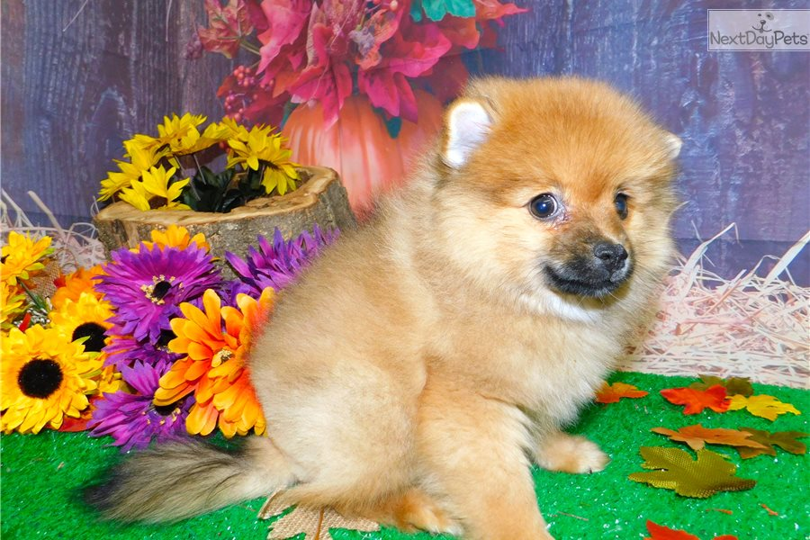 pomeranian puppy chicago pomeranian puppy for sale near chicago illinois 4510
