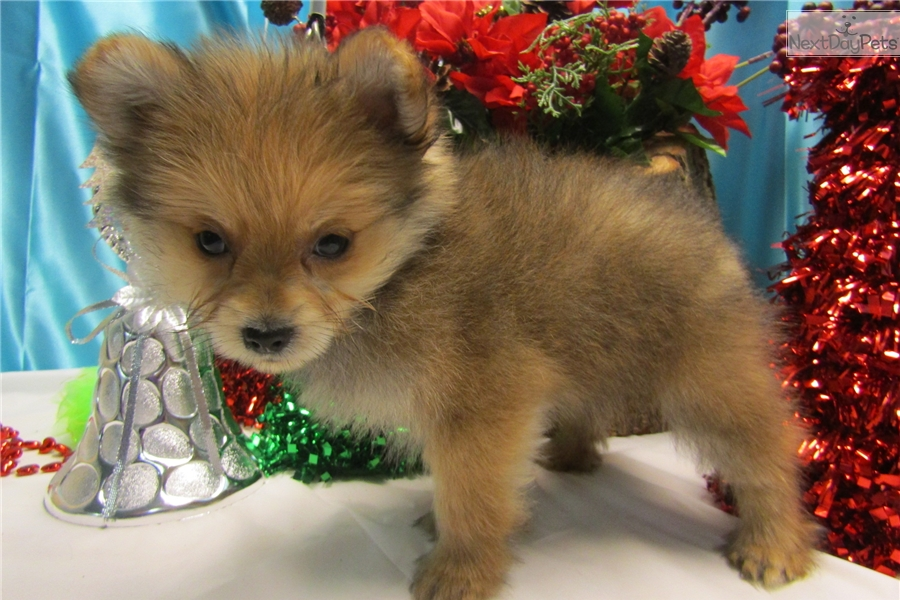pomeranian groomer near me pomeranian mix pomeranian puppy for sale near chicago 3780