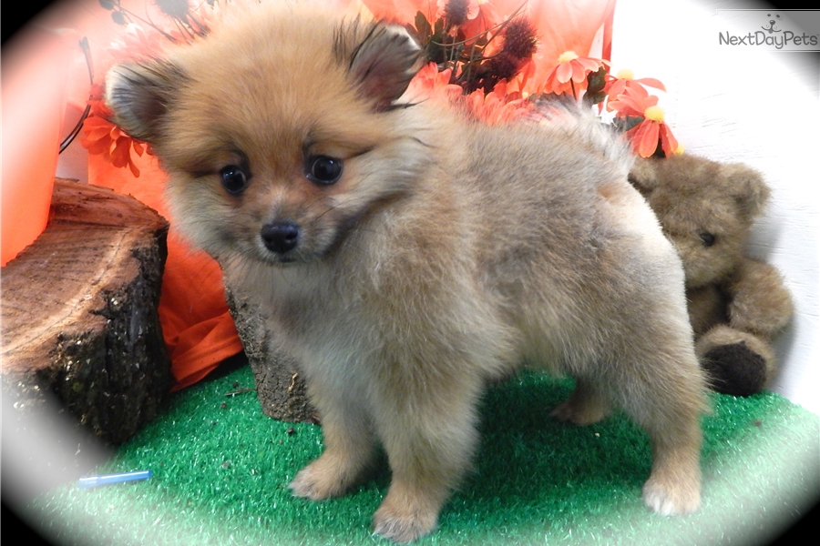 pomeranian puppy chicago pomeranian baby pomeranian puppy for sale near chicago 2236