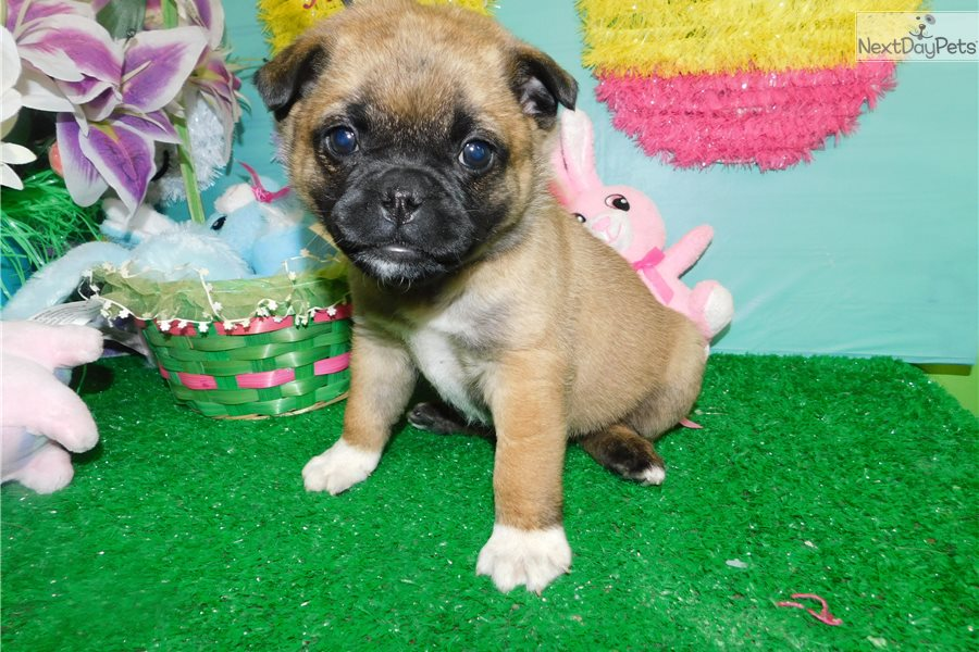 Pug Mix Pug Puppy For Sale Near Chicago Illinois 343e3d7c Bdb1