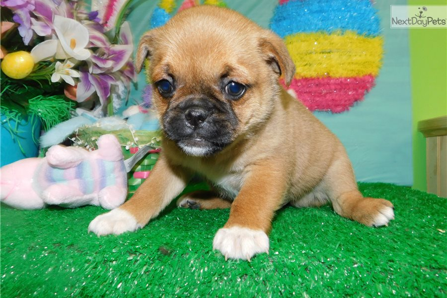 Pug Mix Pug Puppy For Sale Near Chicago Illinois 9929d74b F411