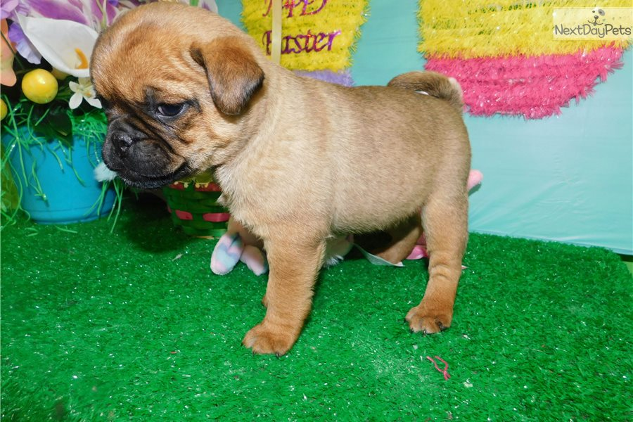 Pug Mix Pug Puppy For Sale Near Chicago Illinois 0a8dcb8f 6161