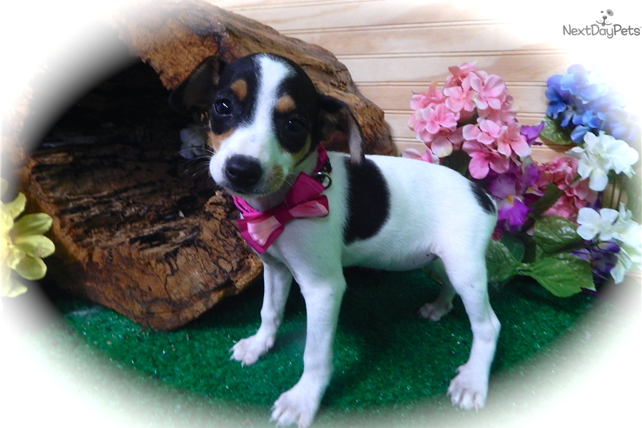 Female Rat Terrier Puppy For Sale Near Chicago Illinois 33a28726