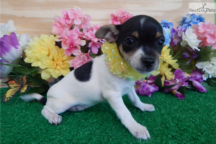 Toy Rat Terrier Rat Terrier Puppy For Sale Near Chicago Illinois