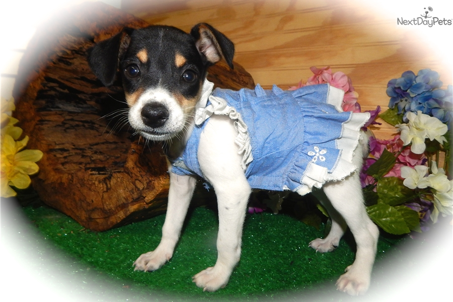 Boy Toy Rat Mix Rat Terrier Puppy For Sale Near Chicago Illinois