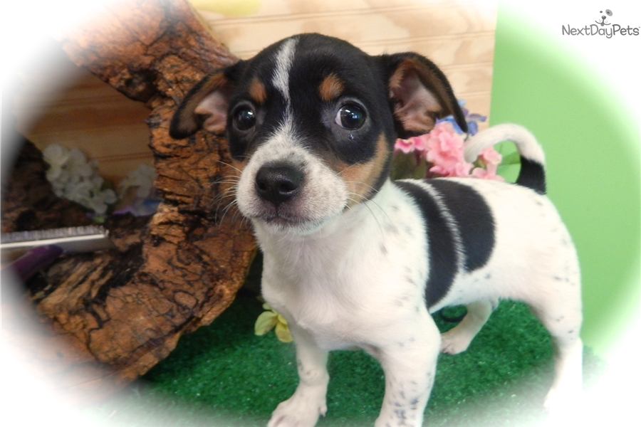 Rat Terrier Mix Rat Terrier Puppy For Sale Near Chicago Illinois