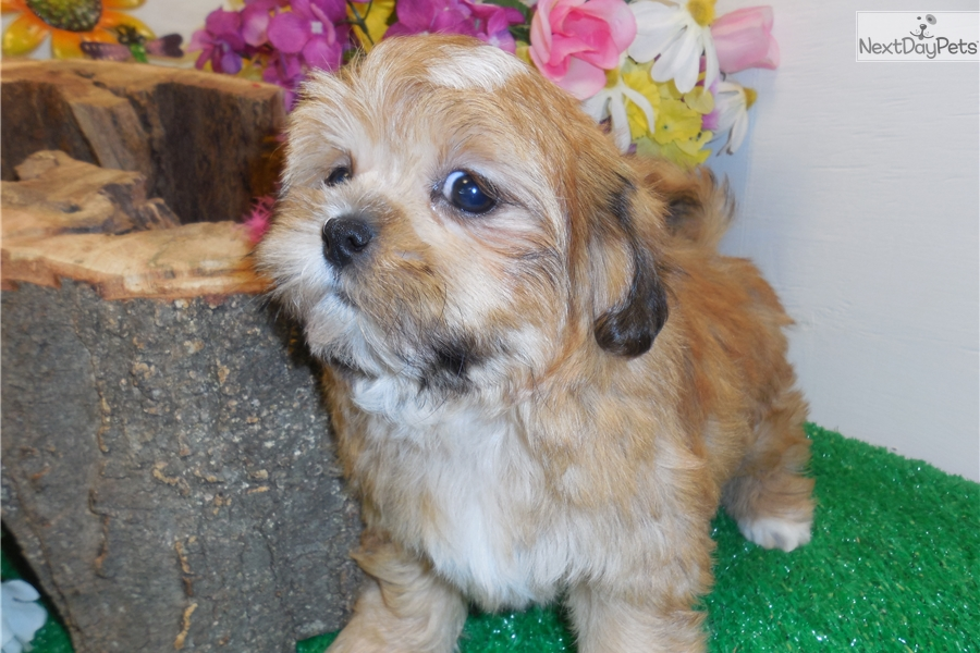 shih tzu for sale chicago shih tzu baby shih tzu puppy for sale near chicago 4337