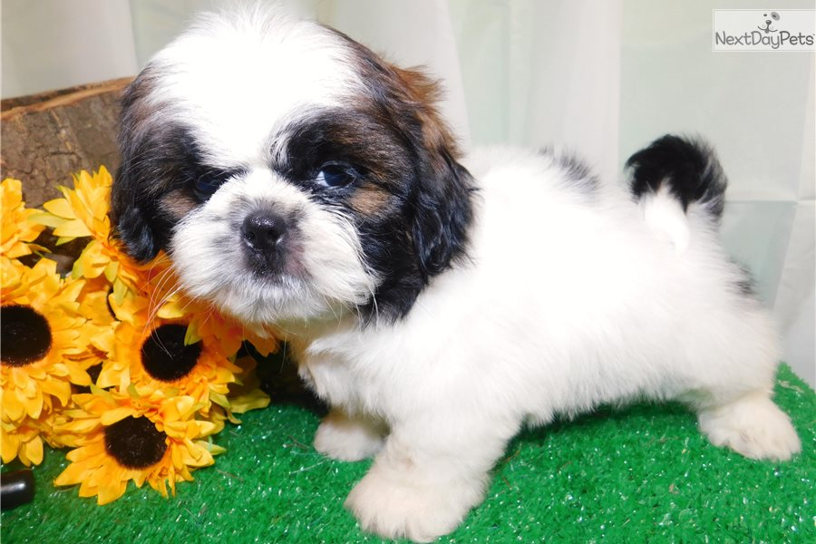 Male Shih Tzu Shih Tzu Puppy For Sale Near Chicago Illinois