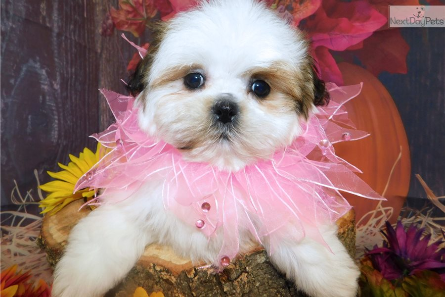 shih tzu for sale chicago shih tzu girl shih tzu puppy for sale near chicago 3873
