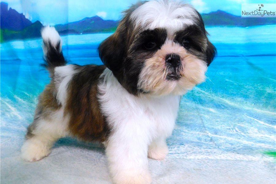 Shih Tzu Boy Shih Tzu Puppy For Sale Near Chicago Illinois