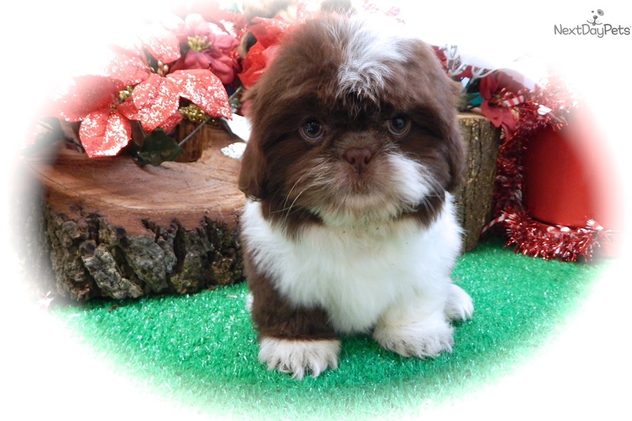 Shih Tzu Baby Shih Tzu Puppy For Sale Near Chicago Illinois