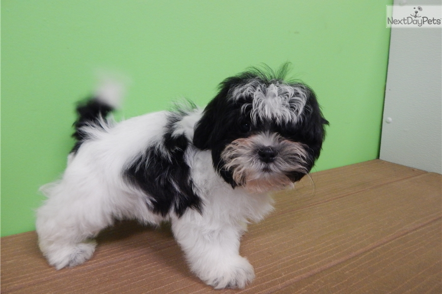 shih tzu for sale chicago shih tzu shih tzu puppy for sale near chicago illinois 1841