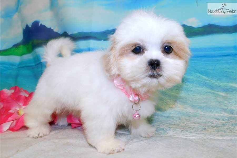 Whitegold Shih Tzu Puppy For Sale Near Chicago Illinois