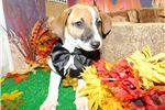 Picture of Aust. Heeler/Terrier Mix type. Great 4 KIDS! Boy!!