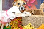 Picture of Aust. Heeler/Terrier Mix type. Great 4 KIDS!