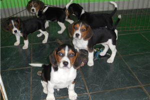 Picture of Beagle Baby