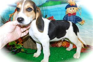 Picture of Beagle Boy