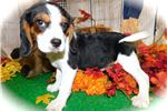 Chicago Beaglier. Easy To Train! Super Sweet. | Puppy at 11 weeks of age for sale