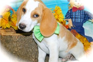 Picture of Beagle Male