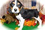 Chicago Beaglier. Great 4 Kids. EASY to train! | Puppy at 11 weeks of age for sale