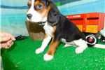 Picture of Chicago Beaglier Boy.  Super Cute! Financing.