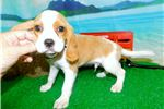 Picture of Beaglier Tan/White. Great 4 Kids. Financing!!