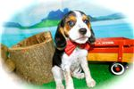 Picture of Chicago Beaglier Male. Great 4 Kids. Financing.