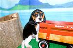 Picture of Beaglier Boy. Great with KIDS! Financing.