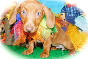 Picture of Dachshund Mix