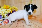 Picture of Jack Russell Puppy. Prespoiled Financing!