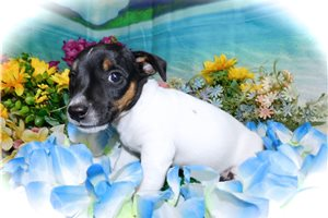 Picture of Jack Russell Boy