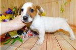 Picture of Chicago Jack Russell Boy. Prespoiled. Financing