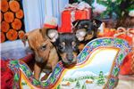 Picture of Mini. Pinscher Mix Type. Tiny Tiny.  Financing!
