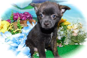 Picture of Pomeranian Mix