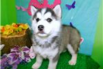 Picture of Husky Mix Type. Male. Great for Kids. Financing