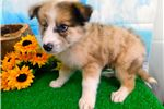 Picture of Border Collie Mix Type. Great 4 Kids.