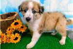 Picture of Border Collie/Aust. Shepherd Mix Female