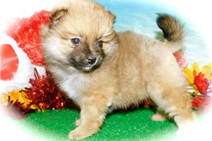 Picture of Pomeranian Boy
