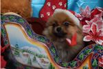 Picture of Chicago Pom Baby. Great with Kids. Vet Checked