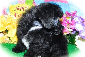 Picture of Poodle Boy