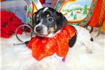 Picture of Chicago Rat Terrier Mix Type. Great for Kids. Girl