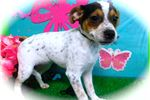 Picture of Rat Terrier Mix. Female. Loves to Play. Prespoiled