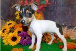 Picture of Rat Terrier Boy. Vet Checked. Financing.