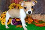 Picture of Rat Terrier Girl. Tons of Personality!!!
