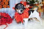 Picture of Chicago Rat Terrier Mix Type. Great for Kids.